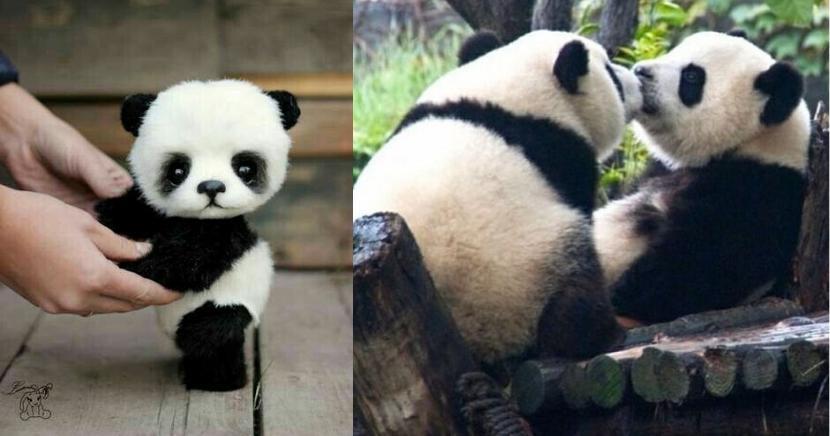 Tiernas imágenes que demuestran porque los pandas son lo mejor